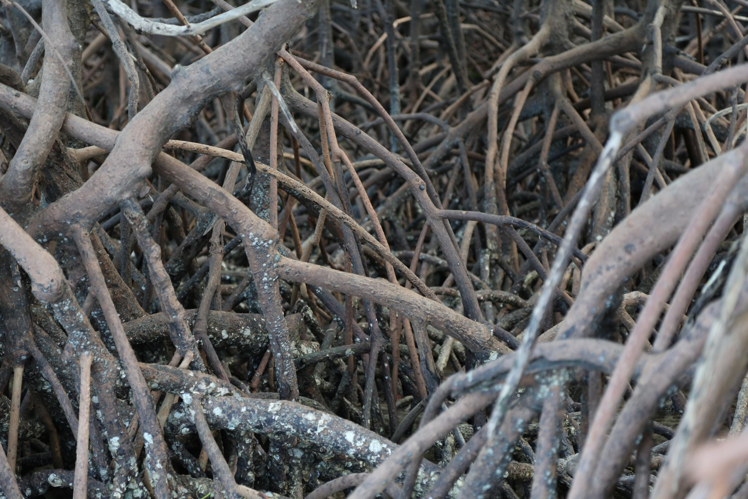 Mangroves roots, Yirrganydji Country, Port Douglas, Qld. (Photograph: Andrew Turner)